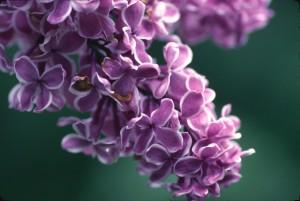 Lilac2-1pz0akp